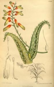 Forrás: M.S. del., J.N.Fitch lith. - Curtis's Botanical Magazine, London., vol. 145 [= ser. 4, vol. 15]: Tab. 8790